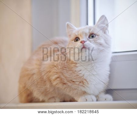 Red tabby kitten with white paws on the windowsill