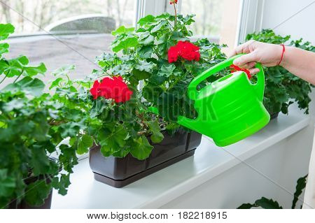 Human Hand Holding Watering Can And Watering Red Geranium Flowers Pots On Windowsill. Indoor. Select