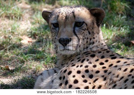 Cheetah; Acinonyx jubatus