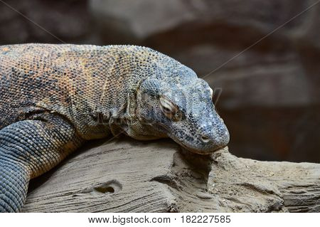 A komodo dragon laying on a tree