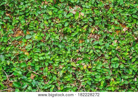 Green Coat Button Plant Cover Over Wall