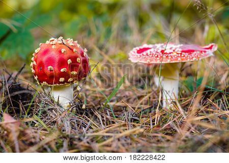 An autumn mushroom Amanita muscaria in the forest.