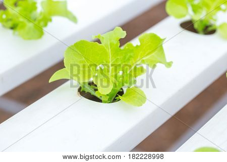 Organic Clean Food. Green Oak Lettuce Hydroponics Plant Agriculture Vegetable For Healthy