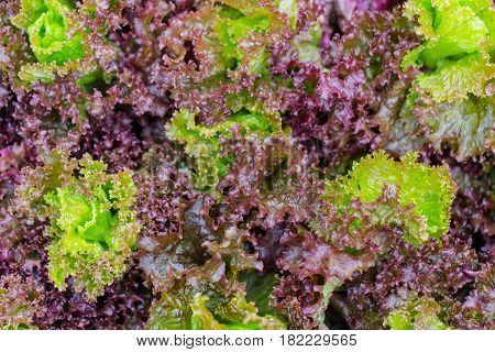 green and red lettuce cover background vegetarian fresh food.