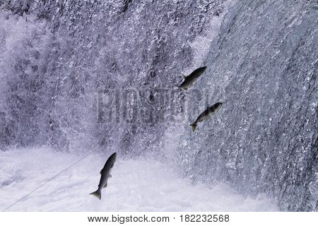 Spawning salmon leap upwards at Meziadin Fishway in British Columbia. Annual spawn occurs in Hanna Creek and Meziadin Lake. poster