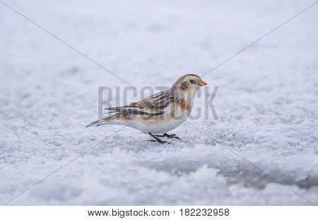 Snow Bunting On The Snow Covered Ground