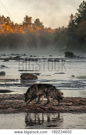 Grey Wolves (Canis lupus) Walk Left Across River Rocks - captive animals
