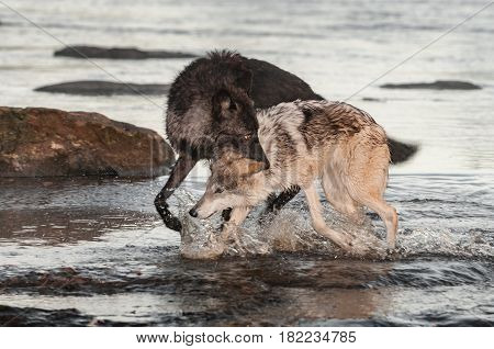 Black Phase Grey Wolf (Canis lupus) Grabs Other By Scruff - captive animals