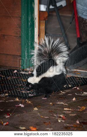 Striped Skunk (Mephitis mephitis) Leaves House - captive animal