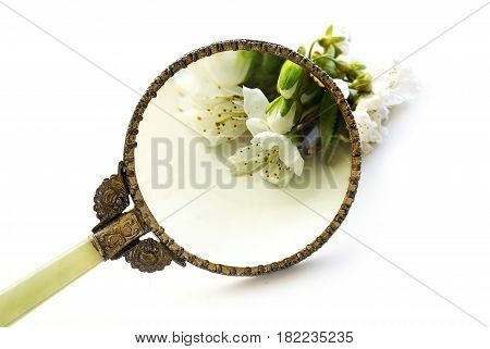 vintage magnifying glass enlarge a cherry blossom exploration and determination of the plant isolated on a white background science concept for agriculture environment and nature with copy space selected focus narrow depth of field