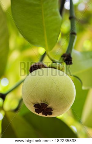 Young Mangosteen On Tree