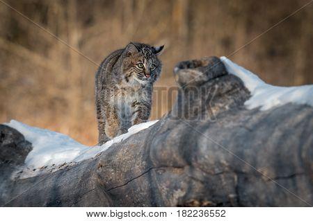 Bobcat (Lynx rufus) Walks Across Log - captive animal
