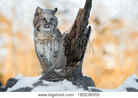 Bobcat (Lynx rufus) Sits Tall on Log - captive animal