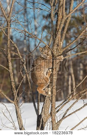 Canadian Lynx (Lynx canadensis) Climbs Up Tree - captive animal