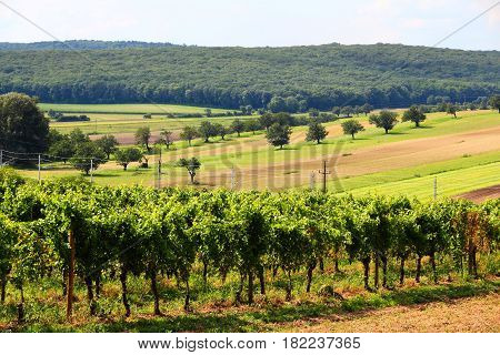 Summer Vineyard Landscape