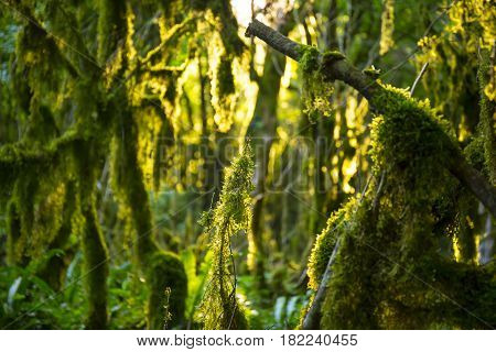 Boxwood mossy trees with sunlight at deep wild forest