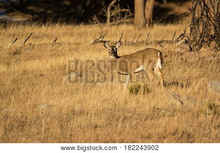 White tailed deer doe at sunset in mountains