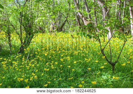 Blooming Flower In Spring, Buttercup, Crowfoot