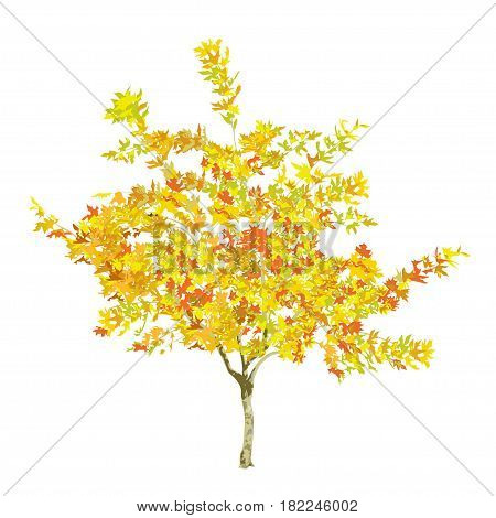 Young plane tree in the fall with yellow and red leaves on a white background