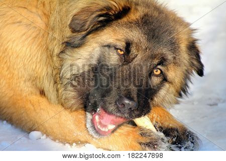 Caucasian Shepherd dog eating bone at winter