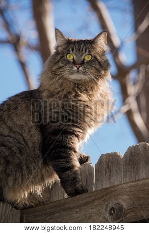 Tabby cat with yellow eyes sitting on wooden fence