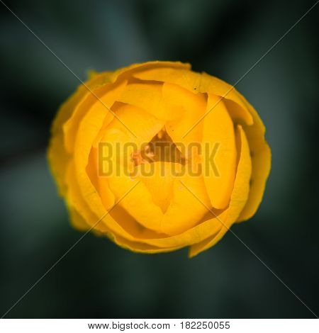 Globeflower (Trollius europaeus) flower bud from above. Yellow petaloid sepals of flowering perennial plant of the family Ranunculaceae