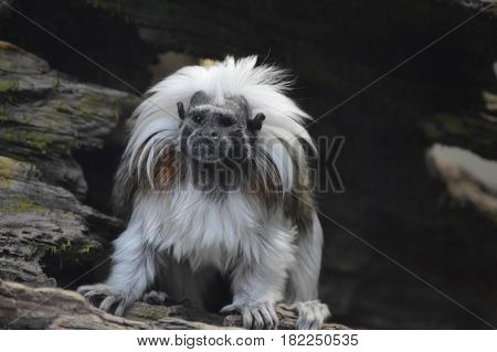 A cotton top Tamarin sitting on a branch