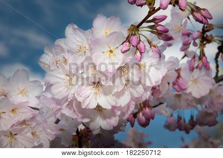 Pink and white cherry blossoms photographed in Silicon Valley.