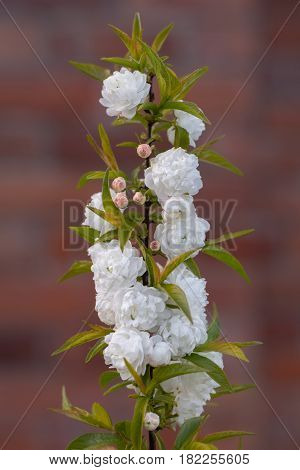 Chinese bush cherry (Prunus glandulosa 'Alba Plena'). Blossom on ornamental shrub in the family Rosaceae native to China aka Chinese plum and dwarf flowering almond