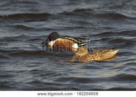Northern Shoveler (Anas clypeata) couple swimming in rough water of a Lake on a windy afternoon in March