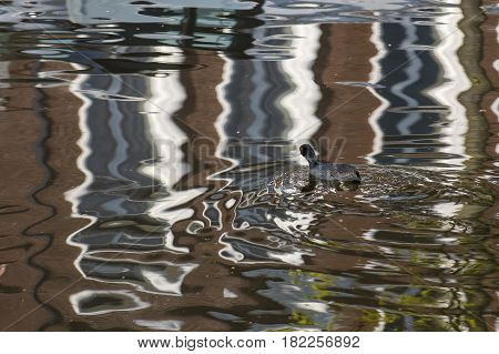 Eurasian Coot (Fulica atra) adult swimming in water of a Town Canal with reflections