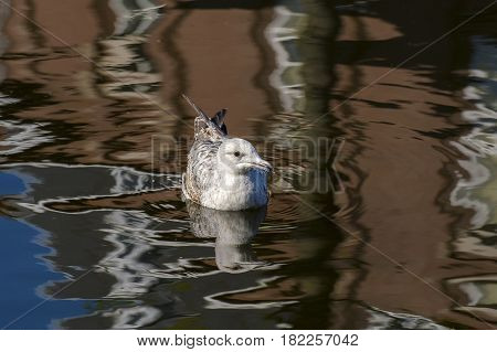 European Herring Gull (Larus argentatus) juve swimming in water of a Town Canal with reflections