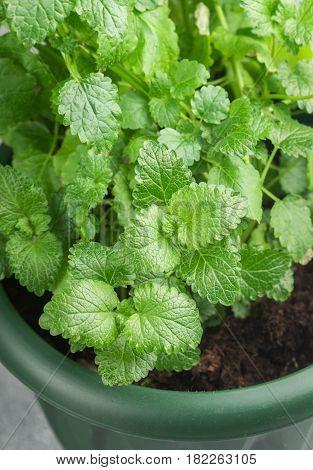 Organic Melissa. Growing lemon balm in a pot. Spicy grass. Selective focus