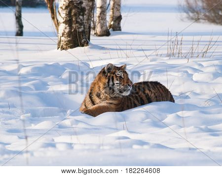 Young siberian tiger having rest on snow in birch forest in russian taiga - Panthera tigris altaica