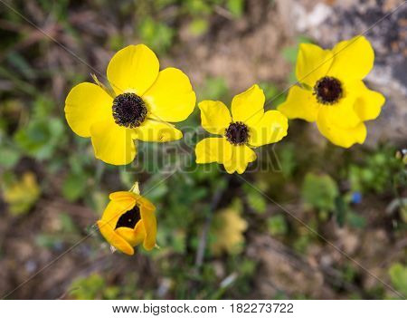 Close-up of a Stamen of a yellow anemone coronaria wild flower poppy anemone.