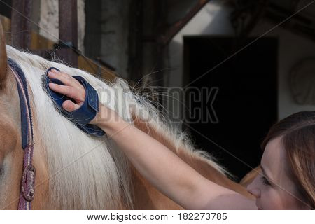 Young woman brushing her horse stallion of horse breed Haflinger