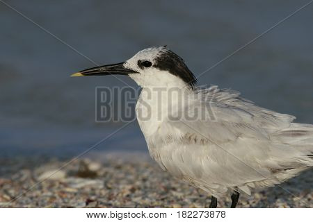 A portrait of a Sandwich Tern  at the shoreline on a beach in Florida