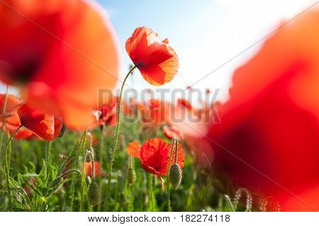 Nature, spring, blooming flowers concept - close-up on red blooming poppies on a sunny spring day with sky background.