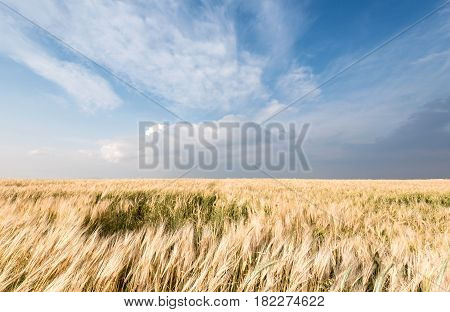Landscape of a Golden wheat field and cloudy sky.