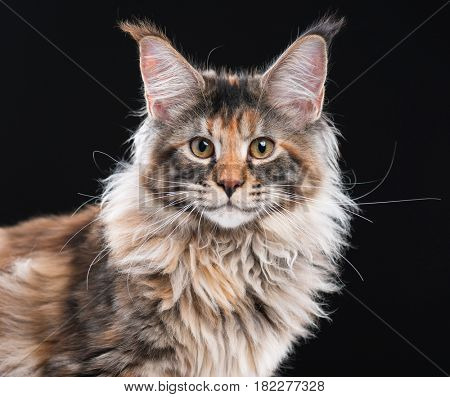 Portrait of domestic tortoiseshell Maine Coon kitten. Fluffy kitty on black background. Adorable curious young cat looking at camera.