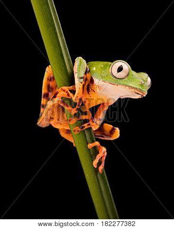 Tiger leg monkey tree frog, Phyllomadusa tomopterna. Tropical treefrog from Amazon rain forest and an endangered animal.