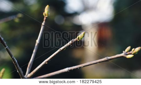Kidney on a tree branch. The kidney is preparing to dissolve under the warm rays of the spring sun. Nalchik.