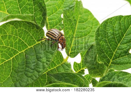 Colorado potato beetle isolated on a white background.