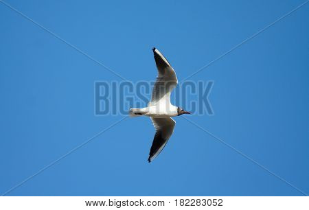 gull flies against a blue sky, an image from the bottom up, a flight, looks up at the photographer, funny