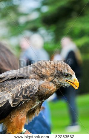 Eagle Hawk Close Up During A Falconry Display