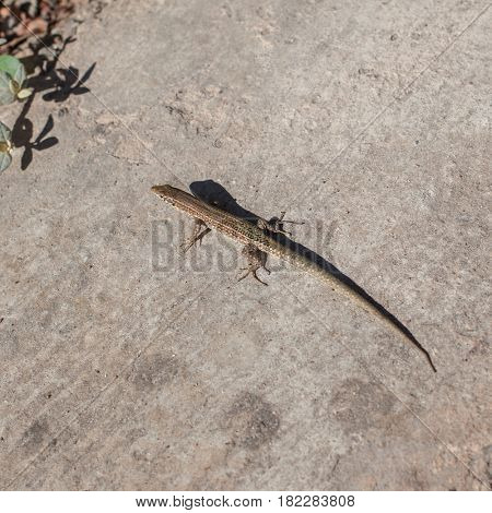 Little lizard on sand
