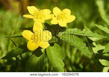 Nahaufname; Pflanze Blume Hahnenfußgewächse (Ranunculaceae) Dotterblume (Caltha) Frühjahr; März; Viehofner See St. Pölten Niederösterreich