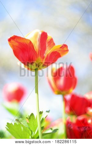 Red tulips flowers over sky. Nature spring background.