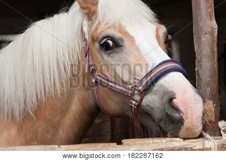 Close Up Of Horse Head , Stallion Horse Breed Haflinger