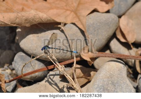 Blue dragonfly posing on rocks. Anisoptera on a branch. Dragonfly on a dry branch
